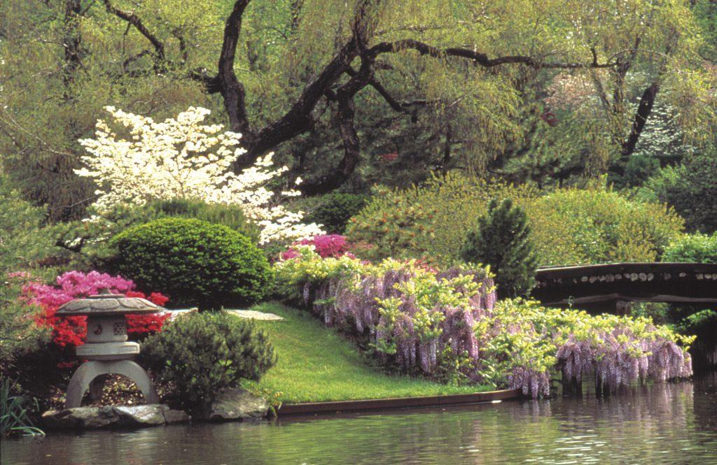 Japanese Garden Wisteria